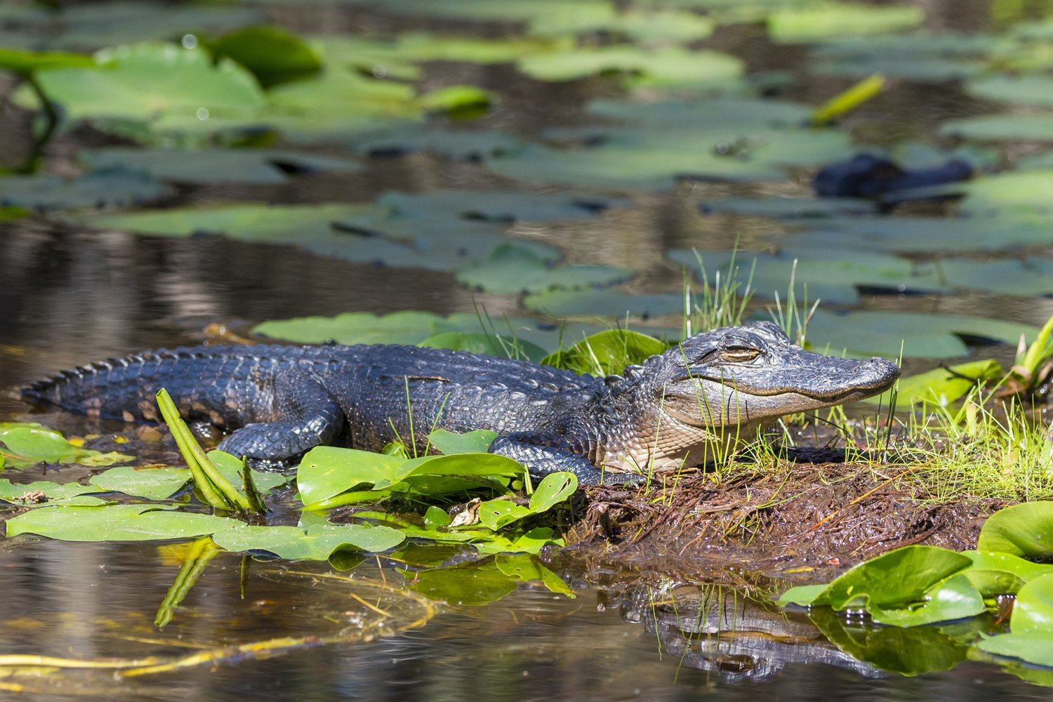 Okefenokee alligators by Tom Wilson